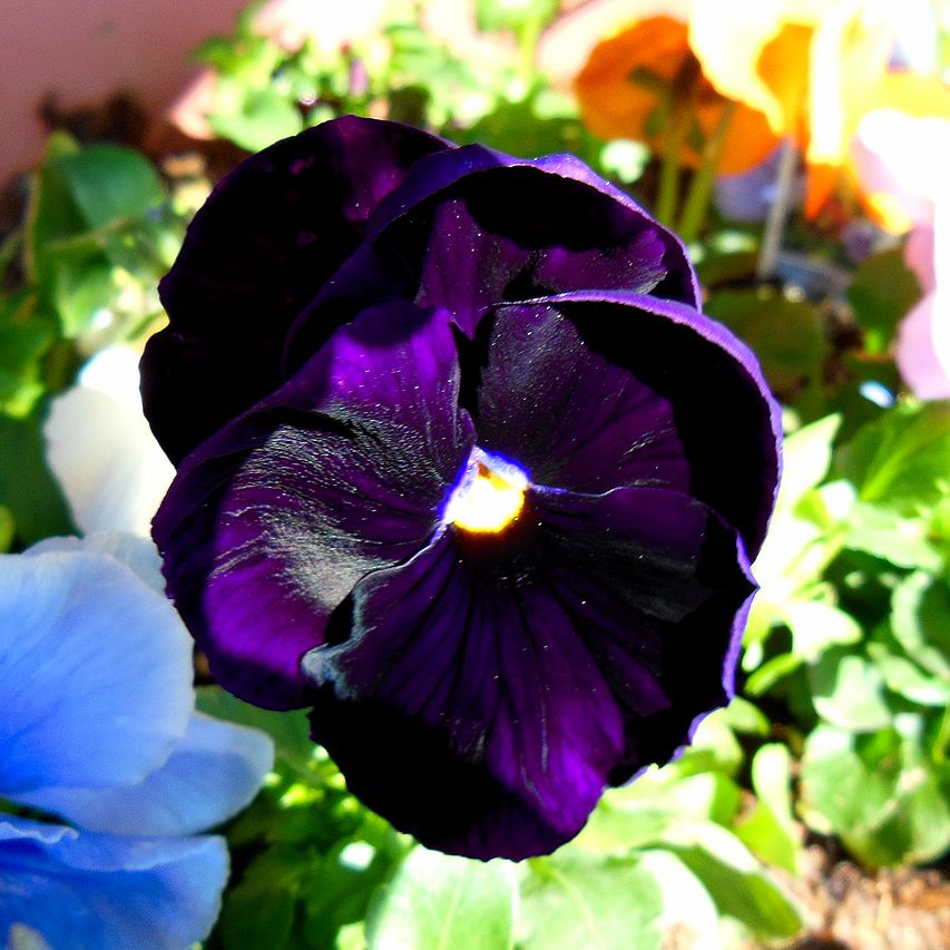 blackpansy