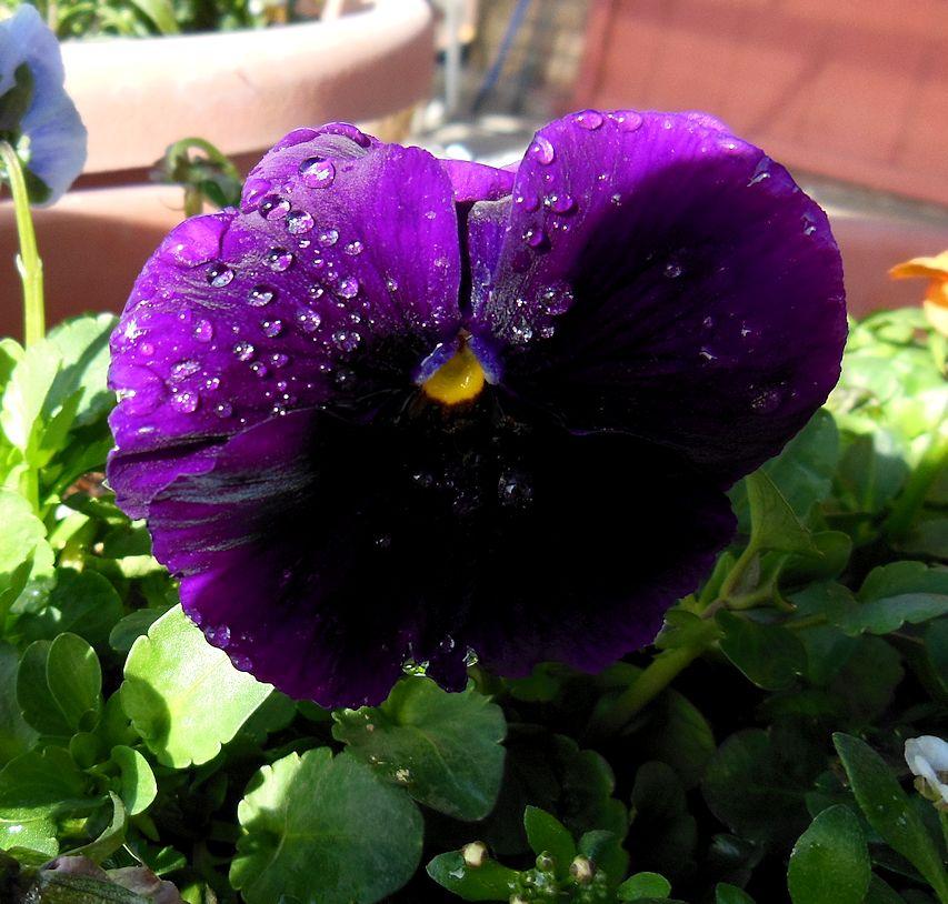 purplepansydrops