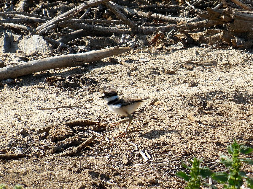 killdeer4