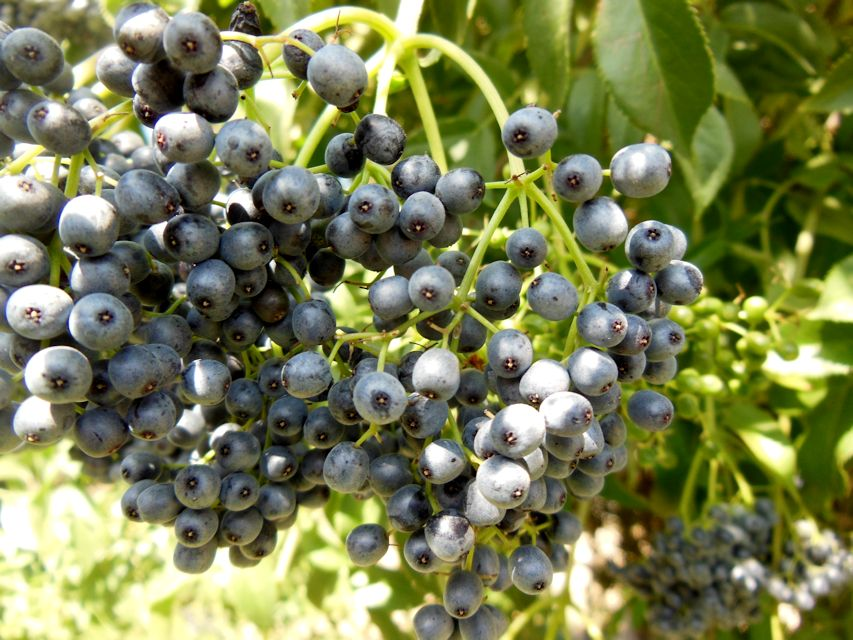 elderberry3