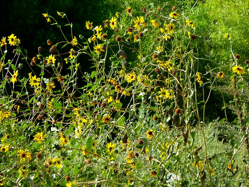 sunfloweredit13