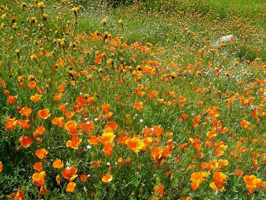 poppies14