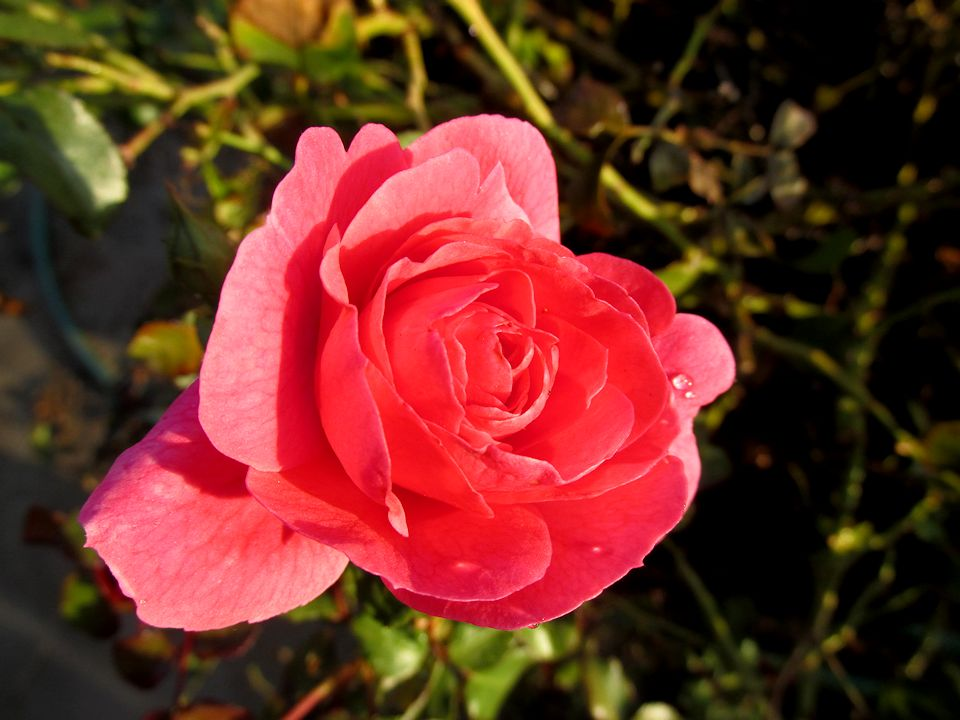 pinkrosedit