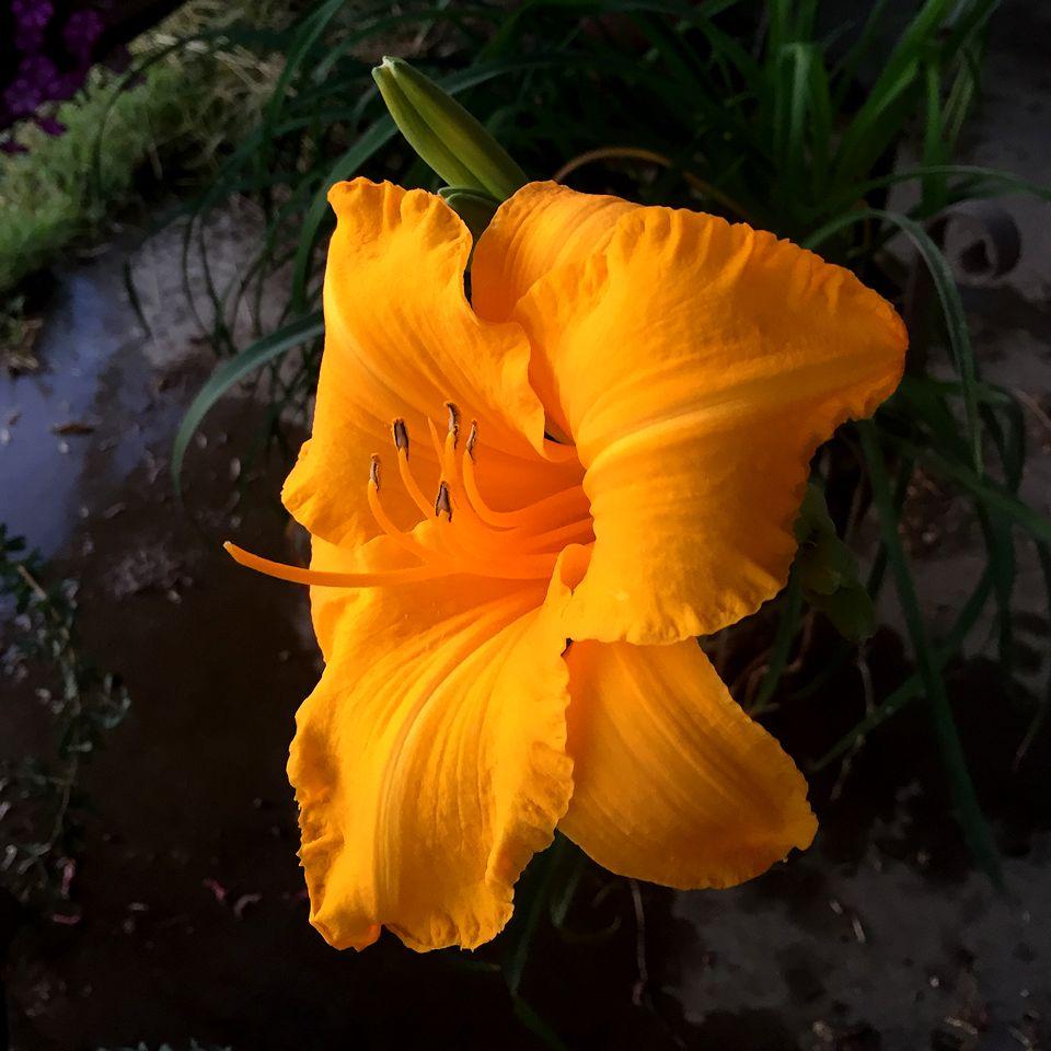 falldaylily